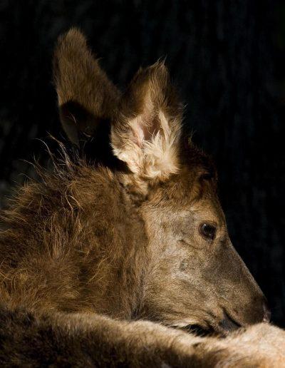 foan elk portrait