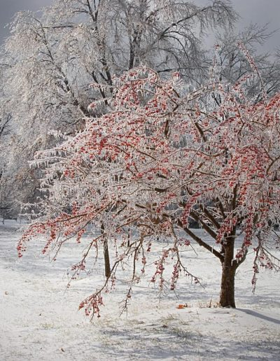 trd berry tree icw and snow