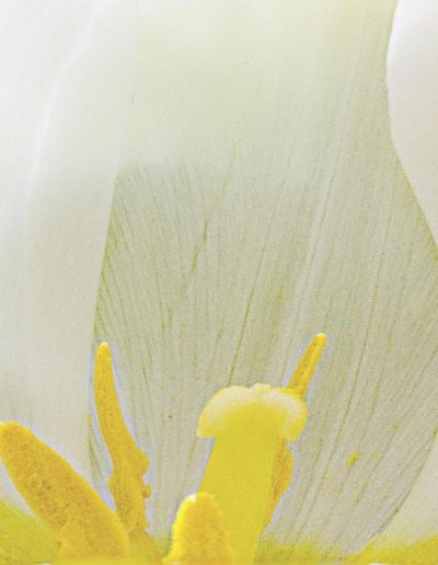 white tulip and yellow pistil copy