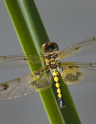Libellule d'or