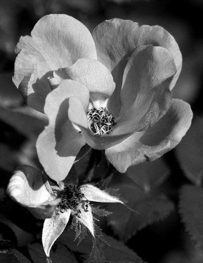 Rose 2 B&W