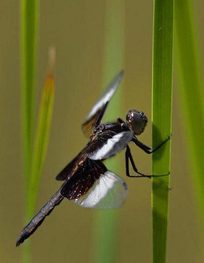 libellule noire et blanche